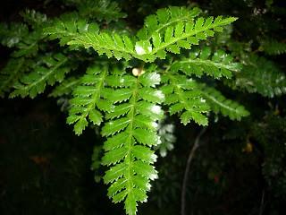 Tineo (Weinmanhia trichosperma)