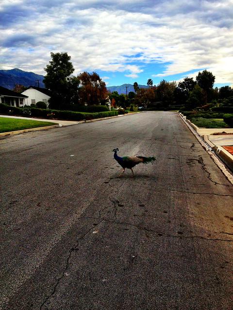 Peacock Crossing