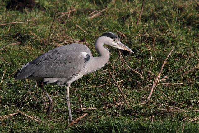Grey Heron, Buck Lane fields