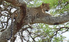 Leopard in tree DSC_9304