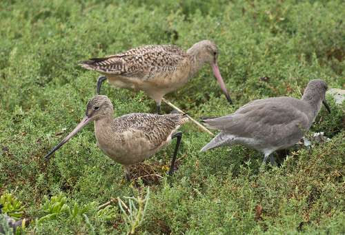 Marbled Godwits and Willet