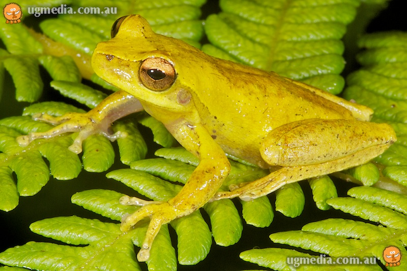 Whirring tree frog (Litoria revelata)