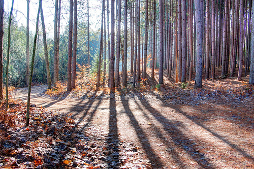 michigan alanson indianriver pines twotracks shadows forests pineneedles goforawalk walking roadside landscape pines11241 hdr11241 roads dirtroads roads11241 dirtroads11241 landscapes11241 landscape11241 crookedtreeartscenter petoskeycameraclub petoskeyphotographyclub crookedtreephotographicsociety robertcarterphotographycom ©robertcarter
