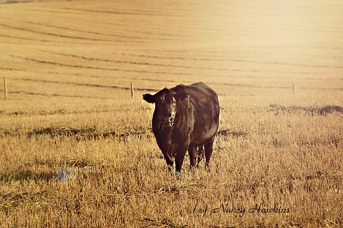 Golden Bovine by Nancy Hawkins