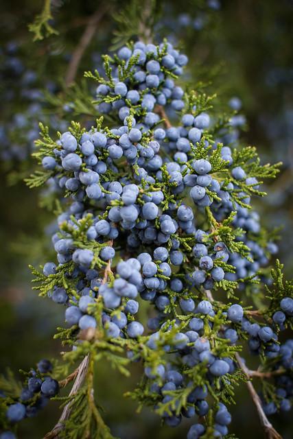 Eastern red cedar berries flickr photo sharing