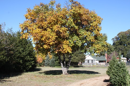 Fall tree at Crest Ranch