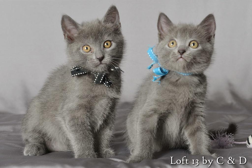 2 chatons mâles chartreux du loft13