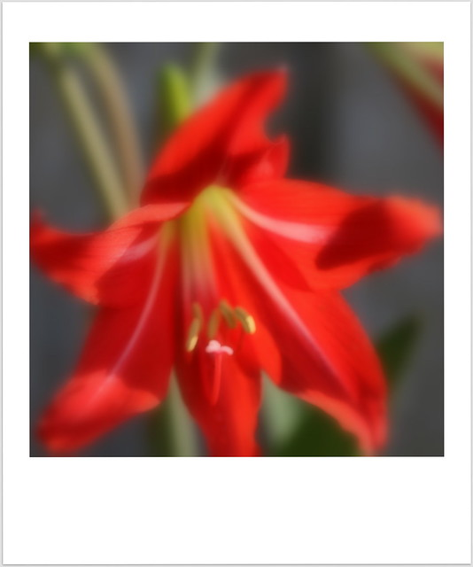 red day lilly