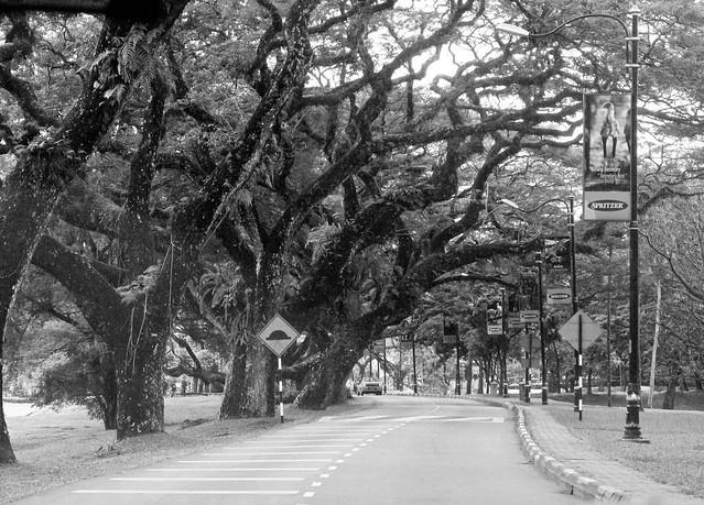 IMG_1660 Taiping Rain Trees