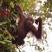 Wild Orangutan (Dani Free)