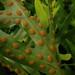 Ferns - Photo (c) Lauren Gutierrez, some rights reserved (CC BY-ND)