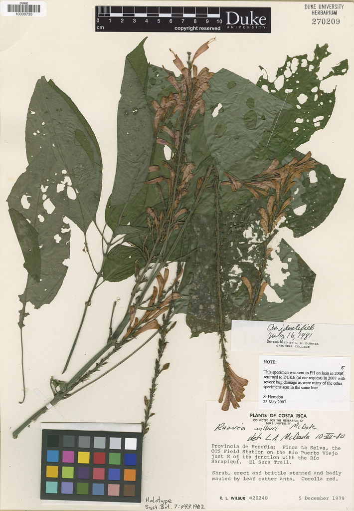 Acanthaceae_Razisea wilburii