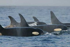 animal, marine mammal, whale, marine biology, killer whale,