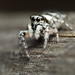 Jumping spider on wooden post #1 by Lord V