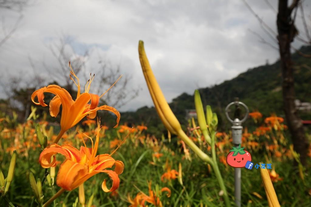 台北金針花 木柵 慈音山莊農場