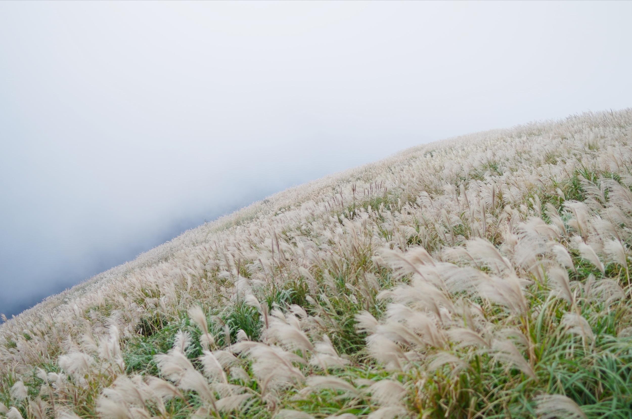 我也有芒花之霧茫茫的芒花