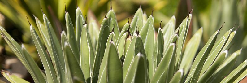 agave 2