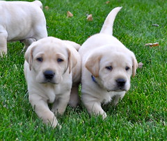 8165506503 31105e0ece m Puppies Help Parents Raise Healthier, Happier Kids