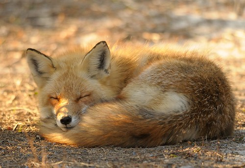 Red Fox at Island Beach State Park by Mark Schwall