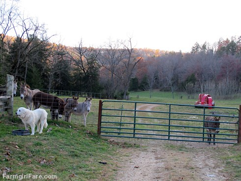 Dinnertime for Daisy, with donkeys (8) - FarmgirlFare.com
