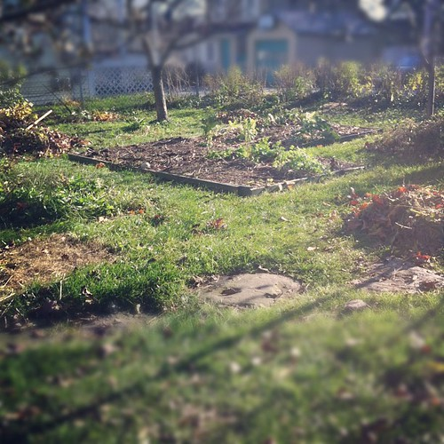 making the garden neat and tidy before the holidays and winter (which is slightly more complicated than usual because we haven't had a hard frost yet) #maine #organicgarden #urbangarden