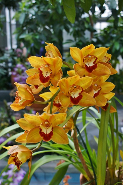 Cymbidium Paddy Mouse 'Orange Swirl'  (4)