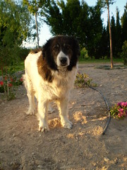 great pyrenees(0.0), dog breed(1.0), animal(1.0), moscow watchdog(1.0), dog(1.0), caucasian shepherd dog(1.0), landseer(1.0), tornjak(1.0), karakachan dog(1.0), carnivoran(1.0),