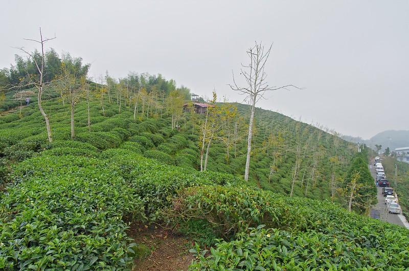 大崙山賞銀杏ⅤS八卦茶園