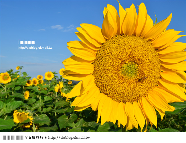【新社花海2012】2012新社花海節活動介紹及交通資訊8-16