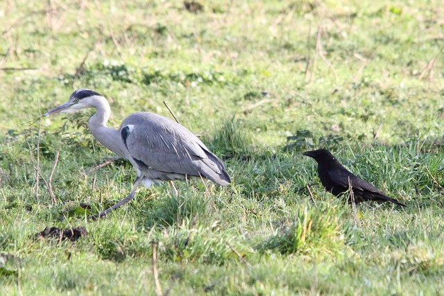 Grey Heron and Carrion Crow, Buck Lane fields