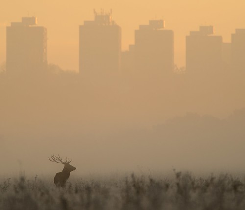 Red Deer at Dawn by Richard.Fisher