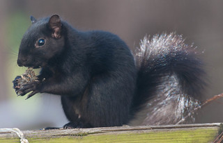 Mr. Black Squirrel dining on sunflower seeds...