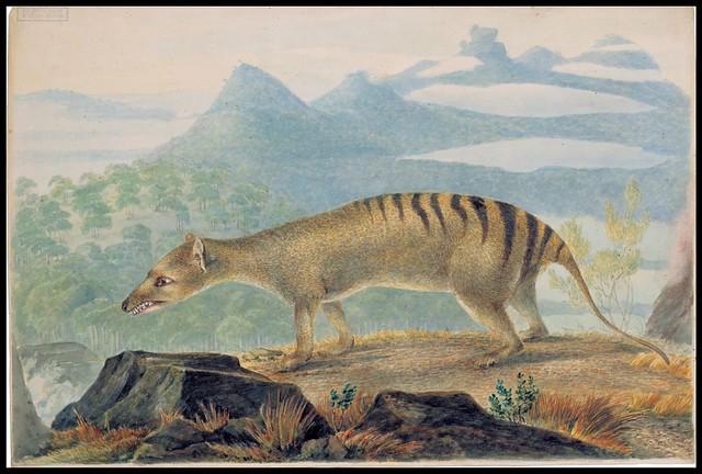 Thylacine cynocephalus (Tasmanian Tiger)