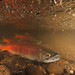When Kokanee Smile by USFWS Pacific