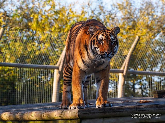 Tigers at Wingham Wildlife Park