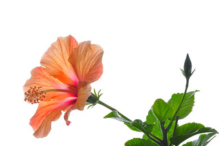 Luminous Hibiscus