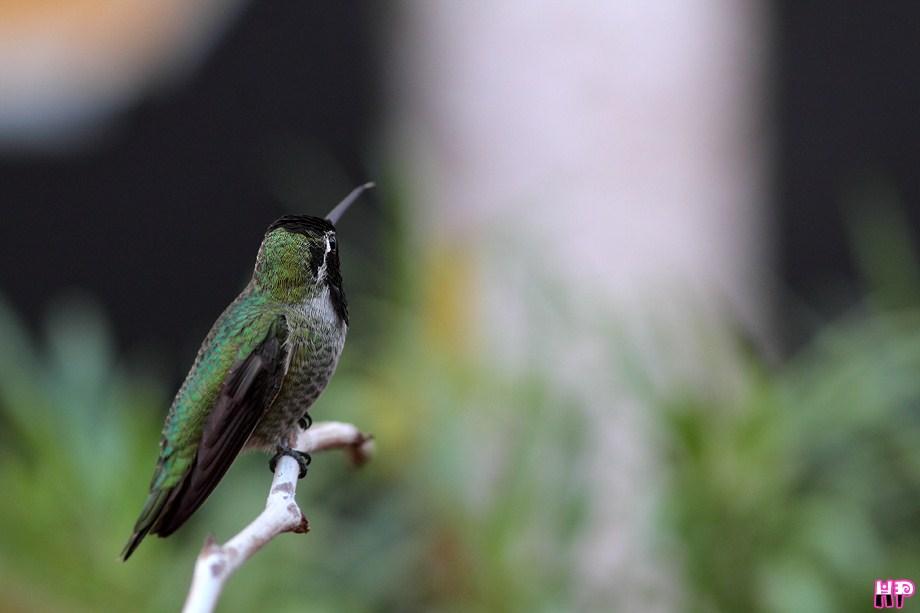 Anna's Hummingbird 112212