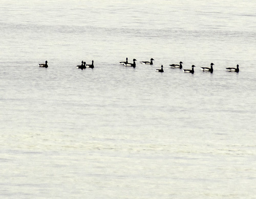 Brant Return to Alki