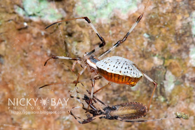 Ornamental Tree Trunk Spider (Herennia ornatissima) - DSC_4758