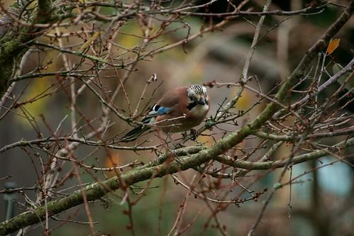 Jay in a cherry tree