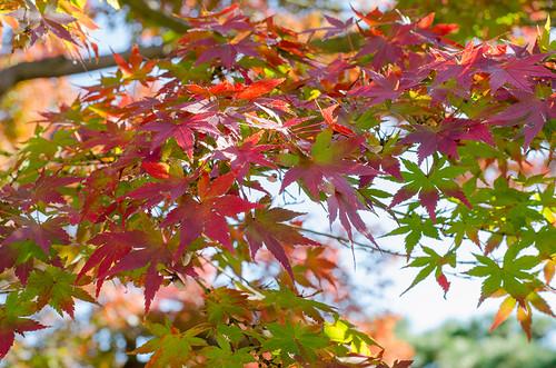 染まりかけの紅葉