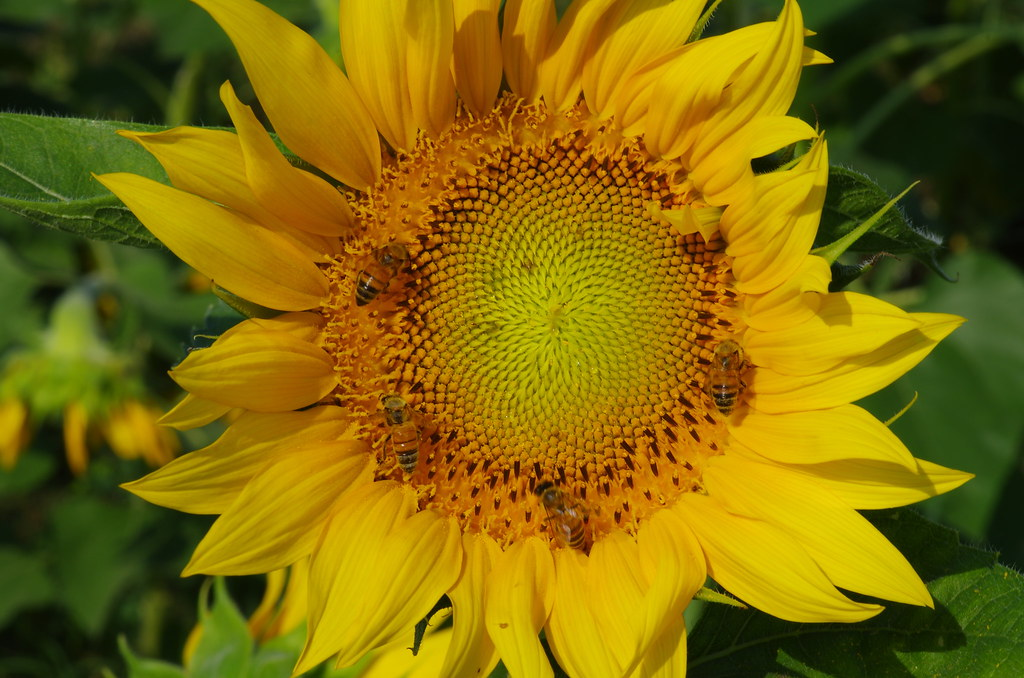 向日癸與蜜蜂