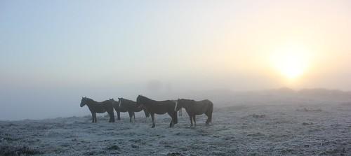 morning sun mist sunrise frost december frosty pony ponies newforest deadmanshill