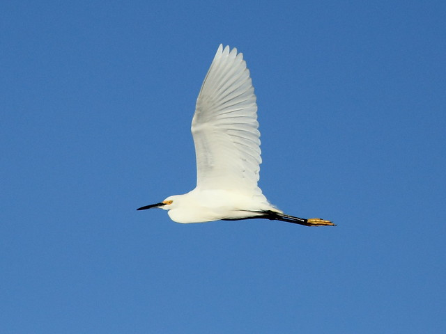 Snowy Egret in flight 20121201