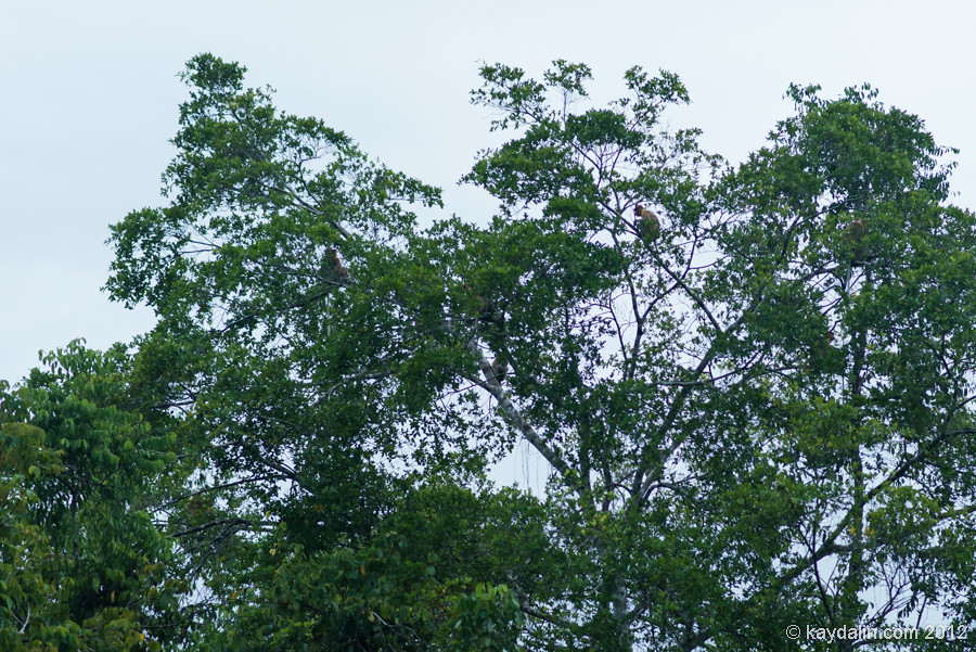 обезьяна борнео