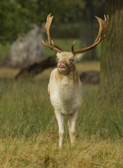 fallow deer buck calling 3