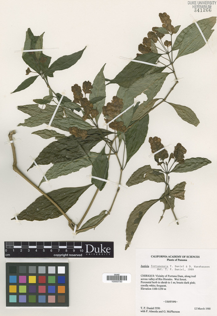 Acanthaceae_Justicia fortunensis