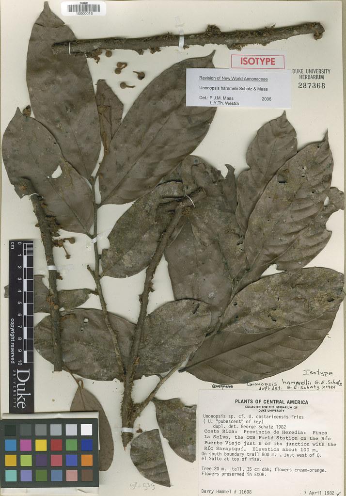 Annonaceae_Unonopsis hammelii