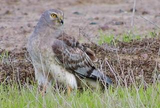 Northern Harrier / Upper Wetlands