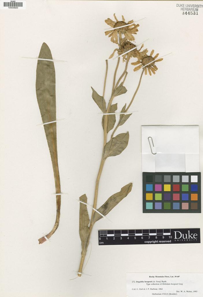 Asteraceae_Helenium hoopesii
